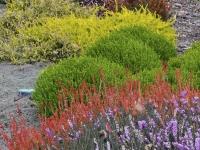 Erica cultivars and hebe mckean
