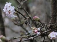 Viburnum bodnantense or charles lamont